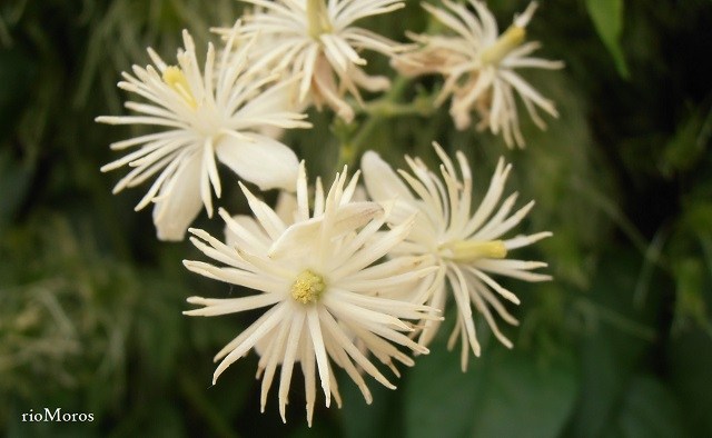 Flores de CLEMÁTIDE Clematis vitalba