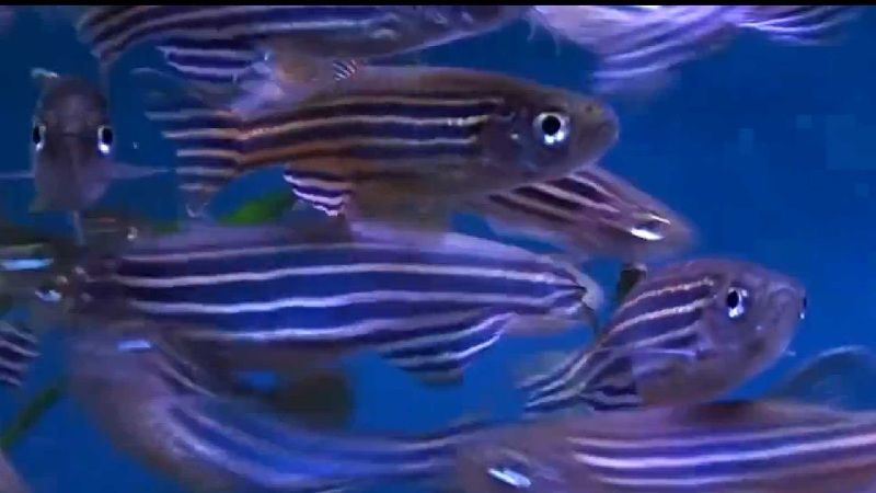 harga ikan zebra danio