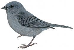 Slaty Finch