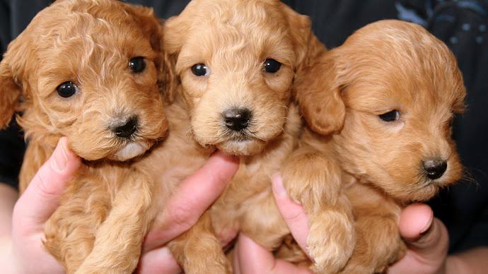 Wallpaper: Lovely Golden Puppies