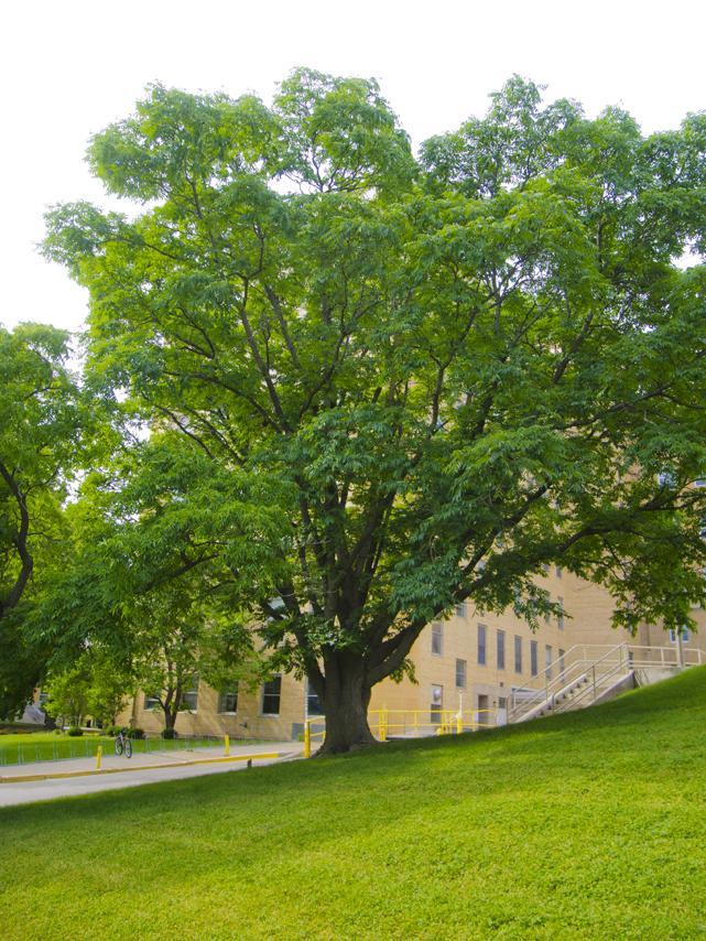 Amur Corktree