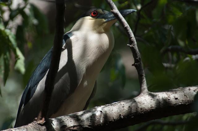Black-crowned Night-Heron, UT Southwestern Rookery