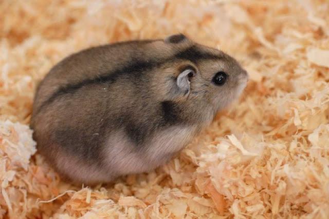 mua-ban-chuot-hamster-soc-socola-trang-tra-sua