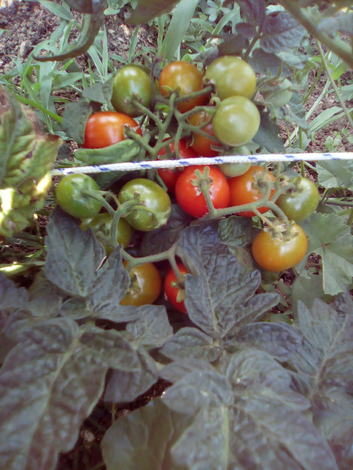 20 graines Tomate laternchen