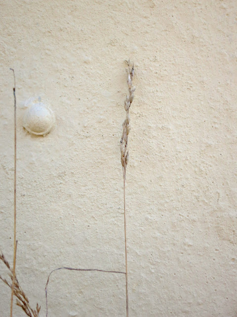 Dessicated grass seed head by garage wall