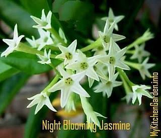 Night-Blooming Jasmine Flowers, raat ki raani floweers