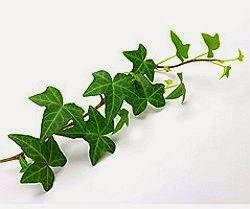 Iedera planta medicinala