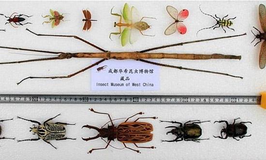 Phryganistria chinensis Zhao - Inseto mais longo do mundo - Comparação tamanho