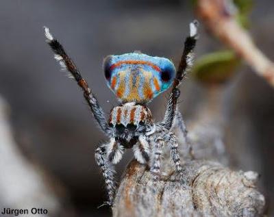 Maratus australis, australis, Aranha-pavão, new-peacock-spider, spider, new spider, aranha, aranhas Austrália, austrália, novas espécies de aranhas da Austrália, natureza, conservação, blog Natureza e conservação, Jurgen Otto