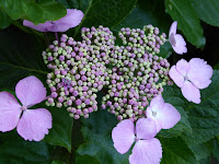 靭公園(うつぼこうえん) 紫陽花 ガクアジサイ