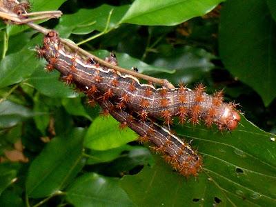 Paradirphia leoni caterpillar