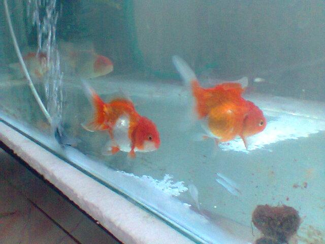 Budidaya Ikan Hias Mas Koki Hobi Ikan Mania