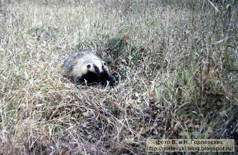 Охота на барсука - Мой охотничий блог
