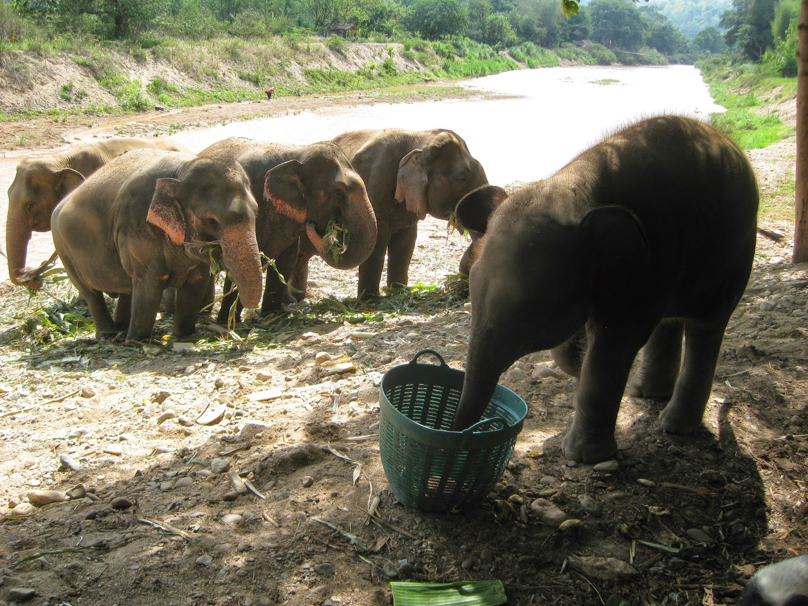 Chiang Mai - 9 month old baby elephant