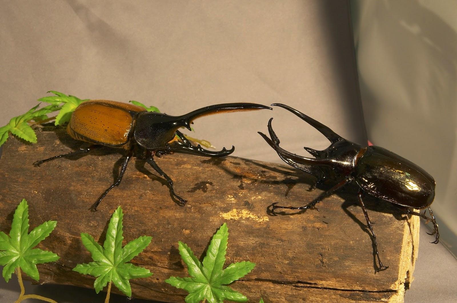 甲蟲-赫克力士大兜蟲(有特色的宜蘭民宿甲蟲森林)@有特色的臺灣宜蘭民宿-甲蟲森林|PChome 個人新聞臺