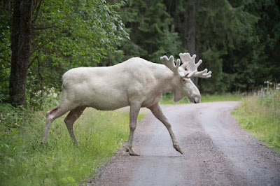 Rare white elk draws crowds in Sweden -- and a warning
