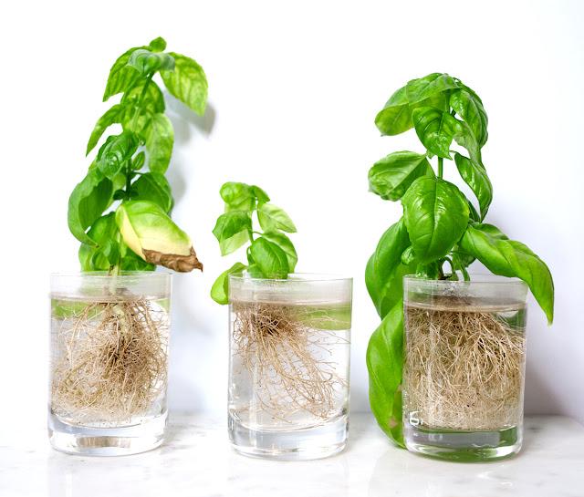 basil, basilikum, plant, diy, home, garden, urban, urban gardening, vegan