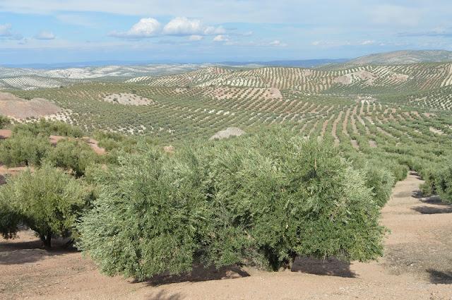 sierra sur de jaen olive groves
