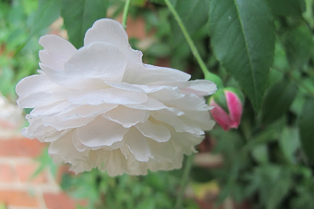 de mooiste foto's uit mijn tuin van juni 2012