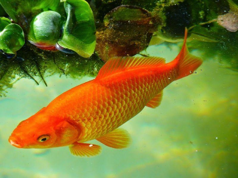 Ciri-ciri ikan mas