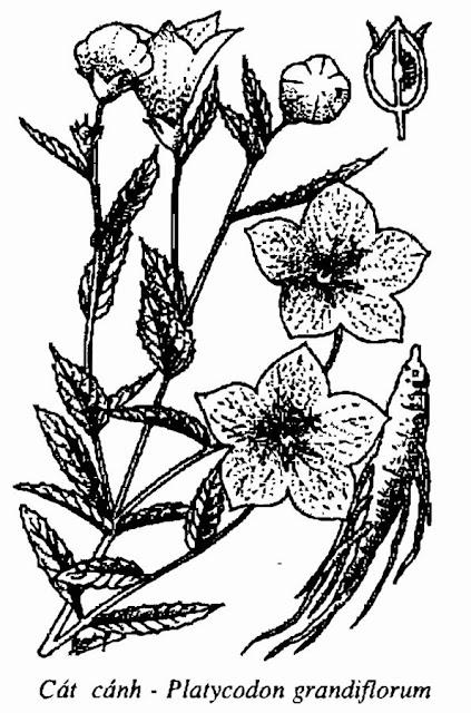 Hình vẽ CÁT CÁNH - Platycodon grandiflorum - Nguyên liệu làm thuốc Chữa Ho Hen