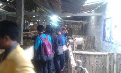 ke peternakan kambing dan domba