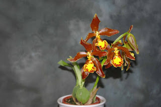 Rossioglossum splendens care and culture