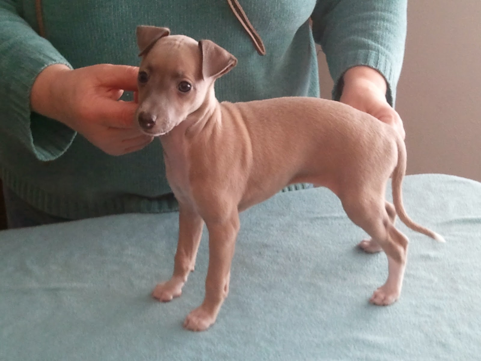 Rules of the Jungle: Italian greyhound puppies