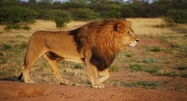 Ek nirdayi sher ki kahani, The story of a savage lion in hindi, ek heartless lion ki khani, sher ki prerak kahani hindi me, ek kotwal sher aur jangal ke kamjor janwaro ki kahani
