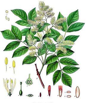 Plantes ornementales  Frêne