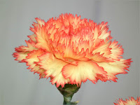 https://wallpaper-tadka.com/2014/05/20/yellow-orange-color-carnation-flower/