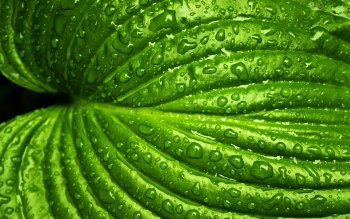 Wallpaper: Green Leaf with Rain Drops