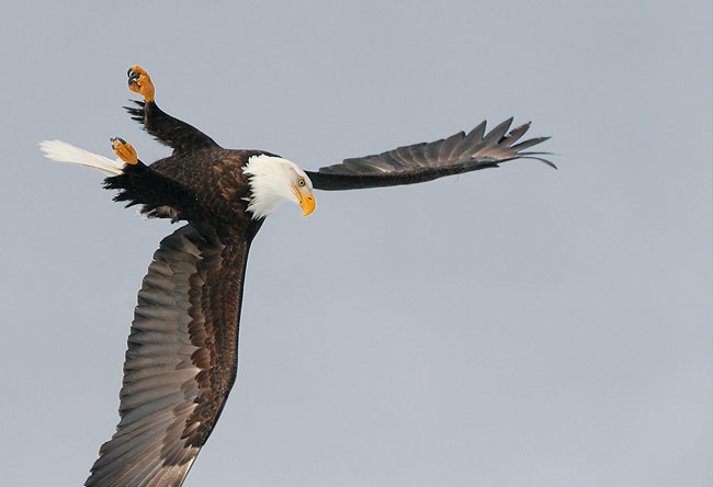 Eagle Flipping The Bird