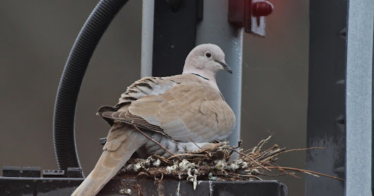 Banbury: Urban Collared Doves
