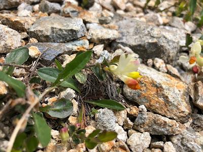 [Polygalaceae] Polygala chamaebuxus – Shrubby Milkwort (Poligala falso bosso).