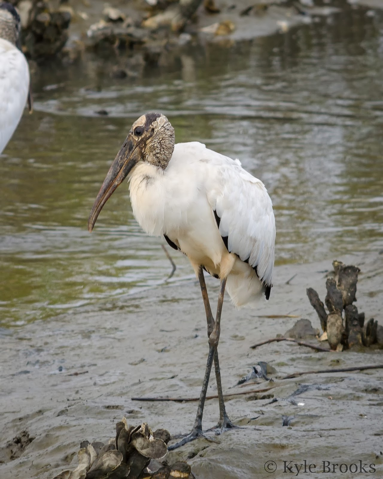 Wood Stork Huntington Beach State Park