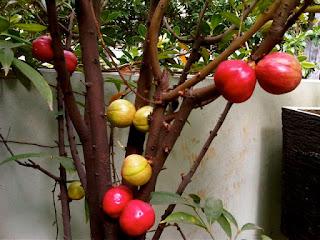 obat tradisional ambeien/wasir