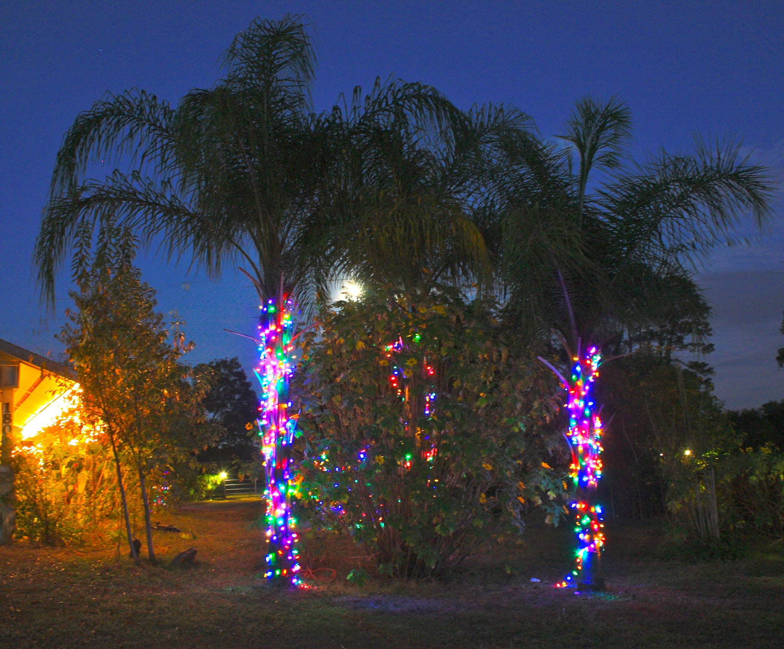 Christmas Palm Trees - Phillip's Natural World