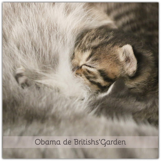 chaton british brown tabby spotted