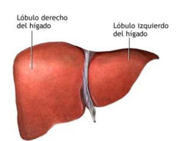 Hígado de los vasos sanguíneos