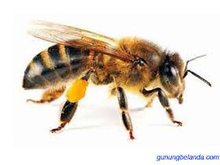 Apakah Lebah Mempunyai 5 Mata - Fakta Unik