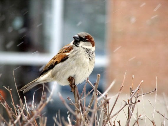 https://www.etsy.com/listing/89119665/winter-sparrow-photograph?ref=favs_view_1
