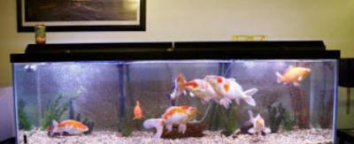 Tips cara memelihara ikan koi di akuarium