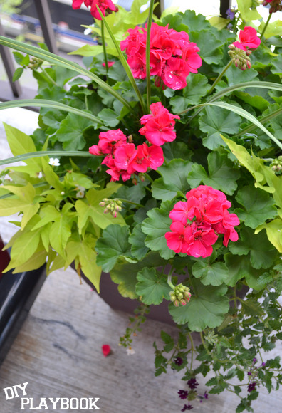 The geraniums have beautiful hot pink blossoms!