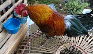Ayam ketawa saura dangdut,Cara Membuat Ramuan Untuk Ayam Ketawa Atau Manu Gaga'