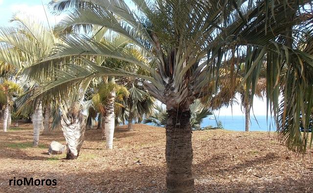 Fotos de palmeras o palmas