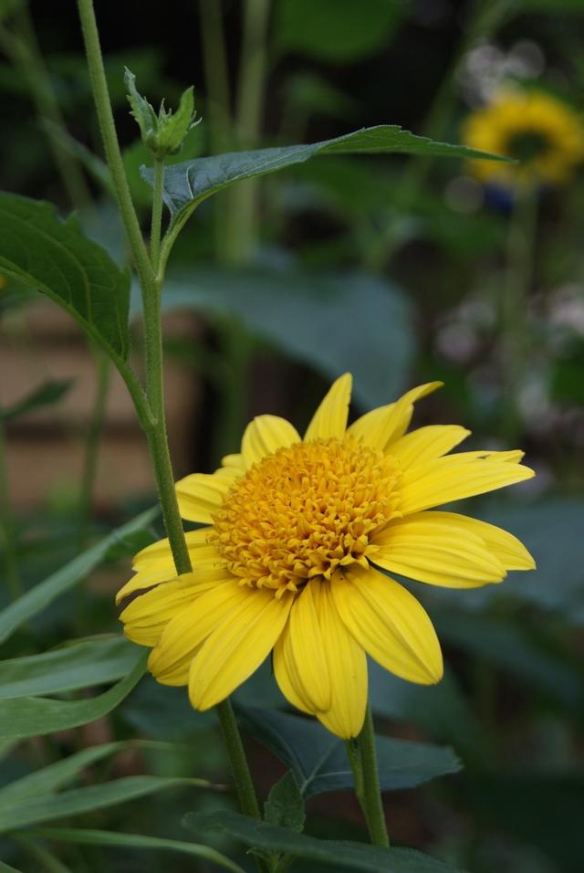 Staudensonnenblume Helianthus  decapetalus 'Capenoch Star'