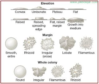 Bentuk-bentuk morfologi koloni bateri