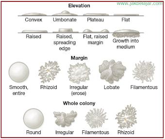 Mengenal Morfologi Koloni Bakteri