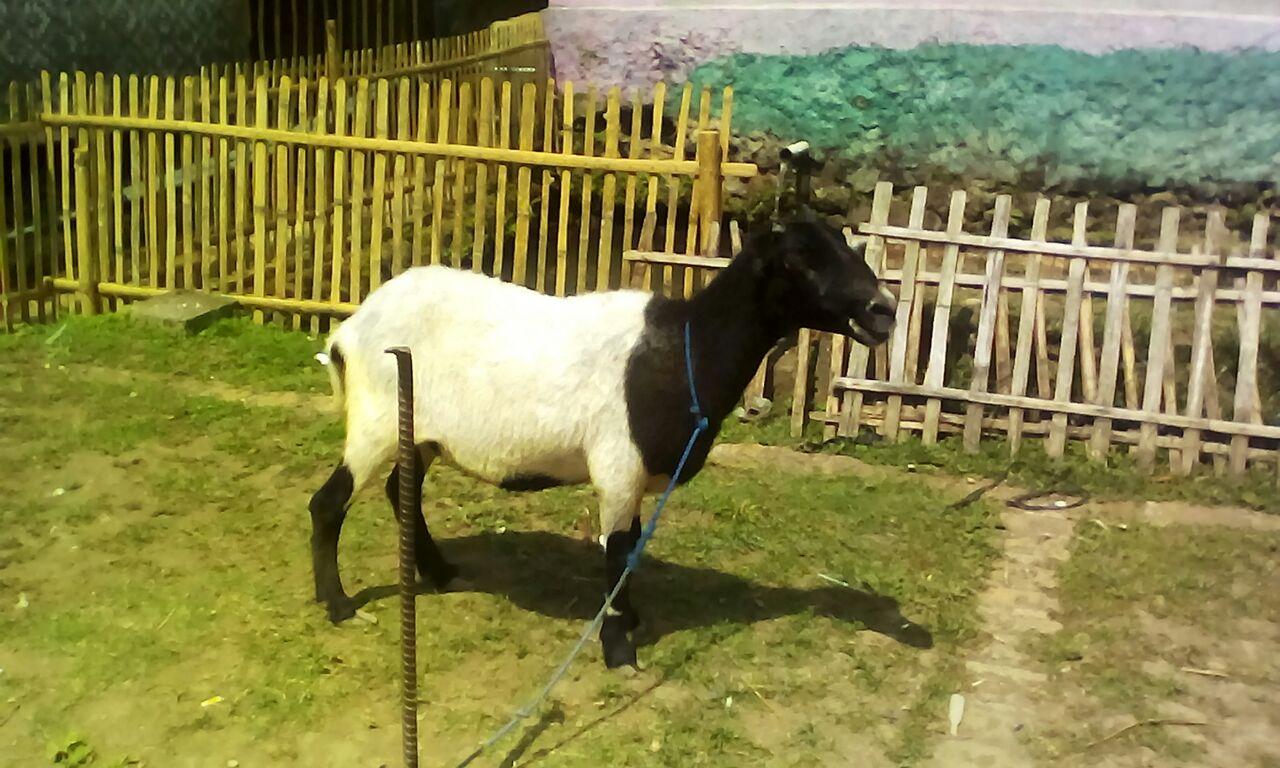 Domba Garut Al-Barkah Bina Usaha